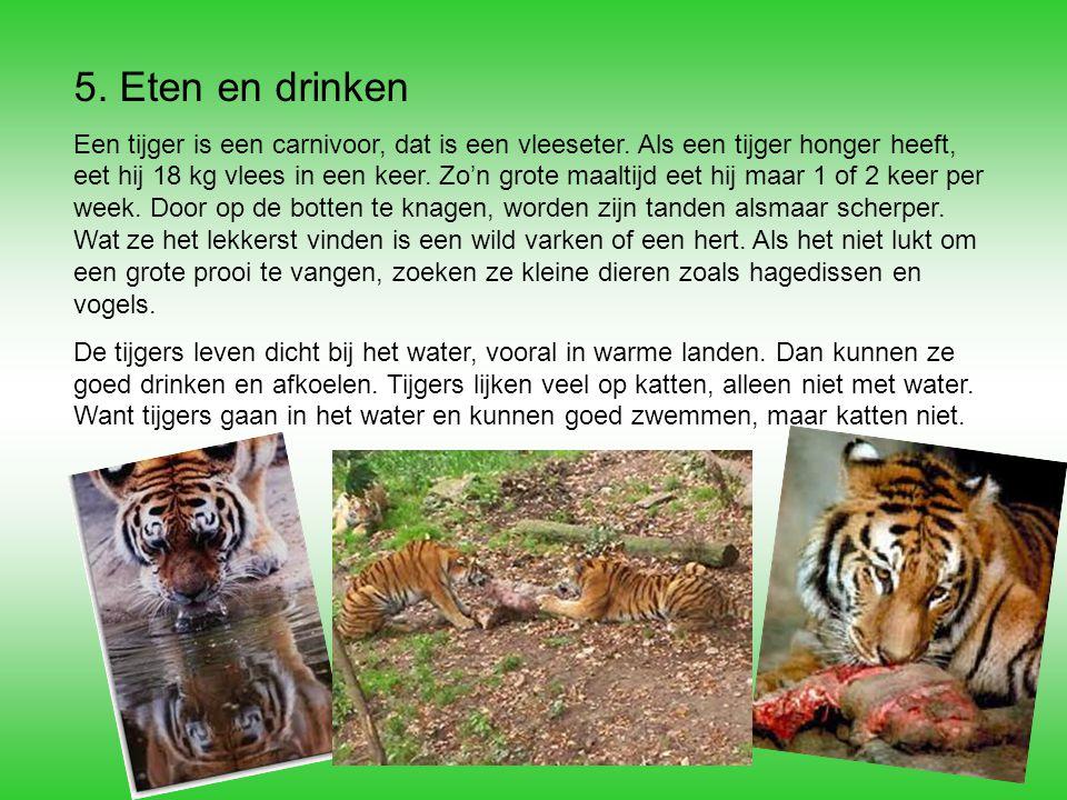 5. Eten en drinken Een tijger is een carnivoor, dat is een vleeseter. Als een tijger honger heeft, eet hij 18 kg vlees in een keer. Zo'n grote maaltij