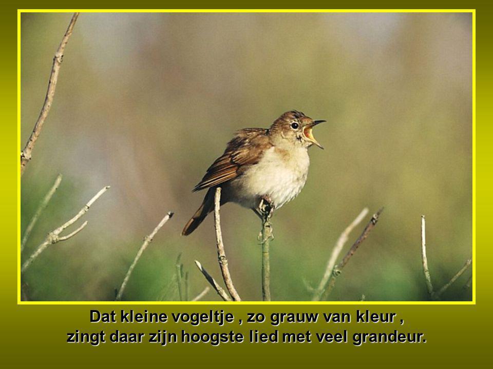 Dat kleine vogeltje, zo grauw van kleur, zingt daar zijn hoogste lied met veel grandeur.