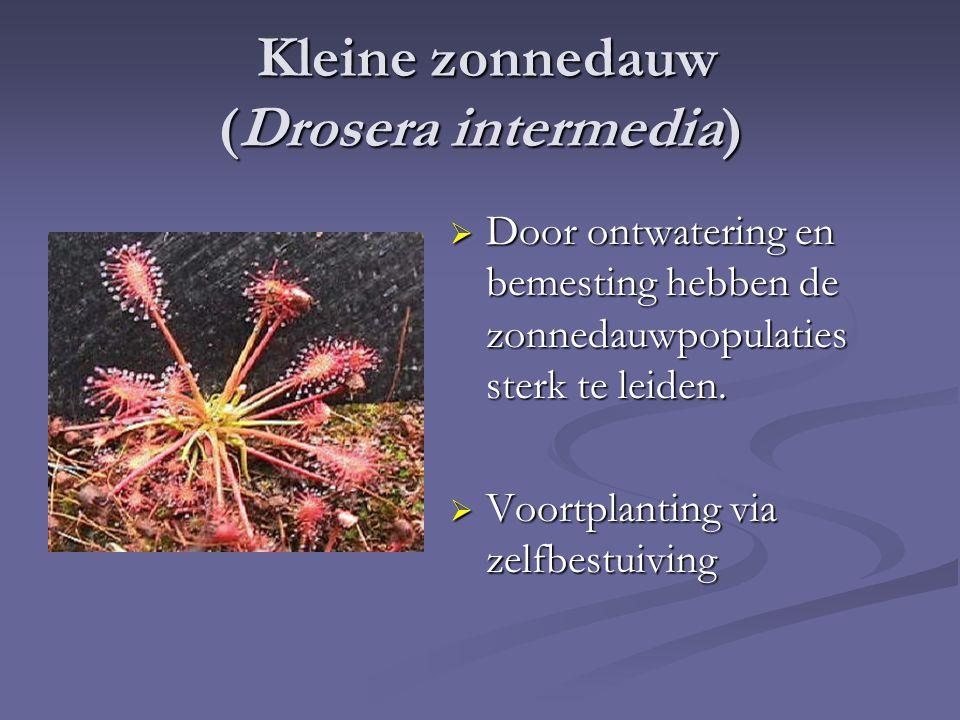 Kleine zonnedauw (Drosera intermedia) Kleine zonnedauw (Drosera intermedia)  Door ontwatering en bemesting hebben de zonnedauwpopulaties sterk te leiden.