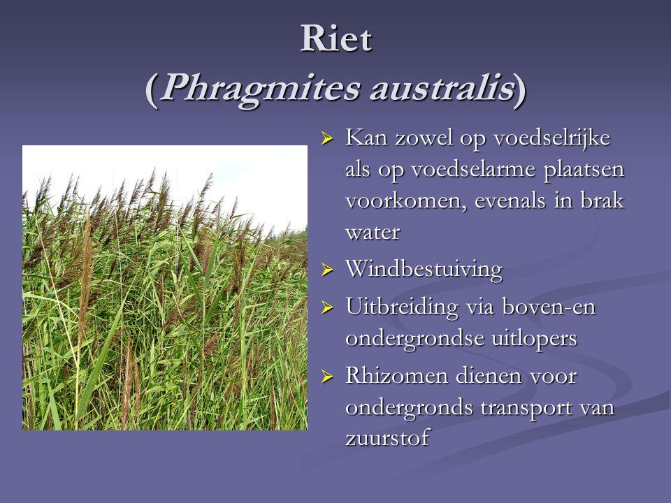 Riet (Phragmites australis)  Kan zowel op voedselrijke als op voedselarme plaatsen voorkomen, evenals in brak water  Windbestuiving  Uitbreiding via boven-en ondergrondse uitlopers  Rhizomen dienen voor ondergronds transport van zuurstof