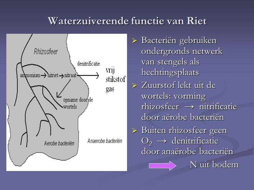 Waterzuiverende functie van Riet  Bacteriën gebruiken ondergronds netwerk van stengels als hechtingsplaats  Zuurstof lekt uit de wortels: vorming rh