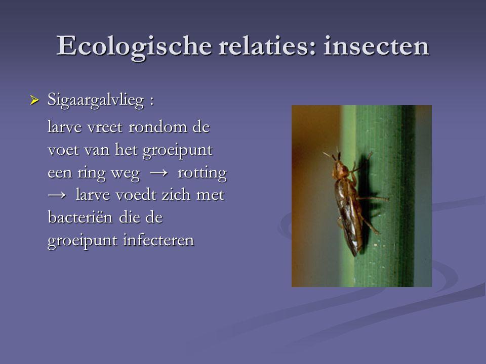 Ecologische relaties: insecten  Sigaargalvlieg : larve vreet rondom de voet van het groeipunt een ring weg → rotting → larve voedt zich met bacteriën die de groeipunt infecteren