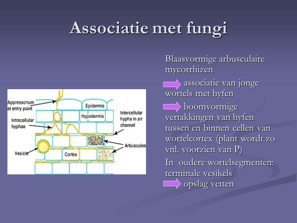 Associatie met fungi Blaasvormige arbusculaire mycorrhizen associatie van jonge wortels met hyfen boomvormige vertakkingen van hyfen tussen en binnen