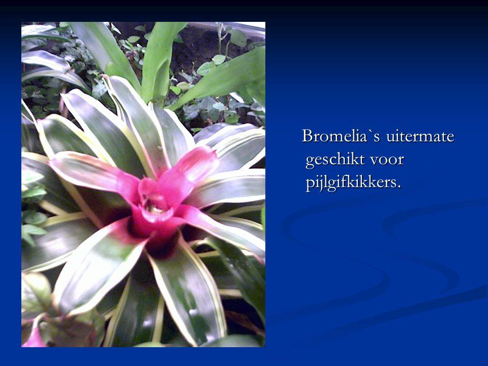 Bromelia`s uitermate geschikt voor pijlgifkikkers.