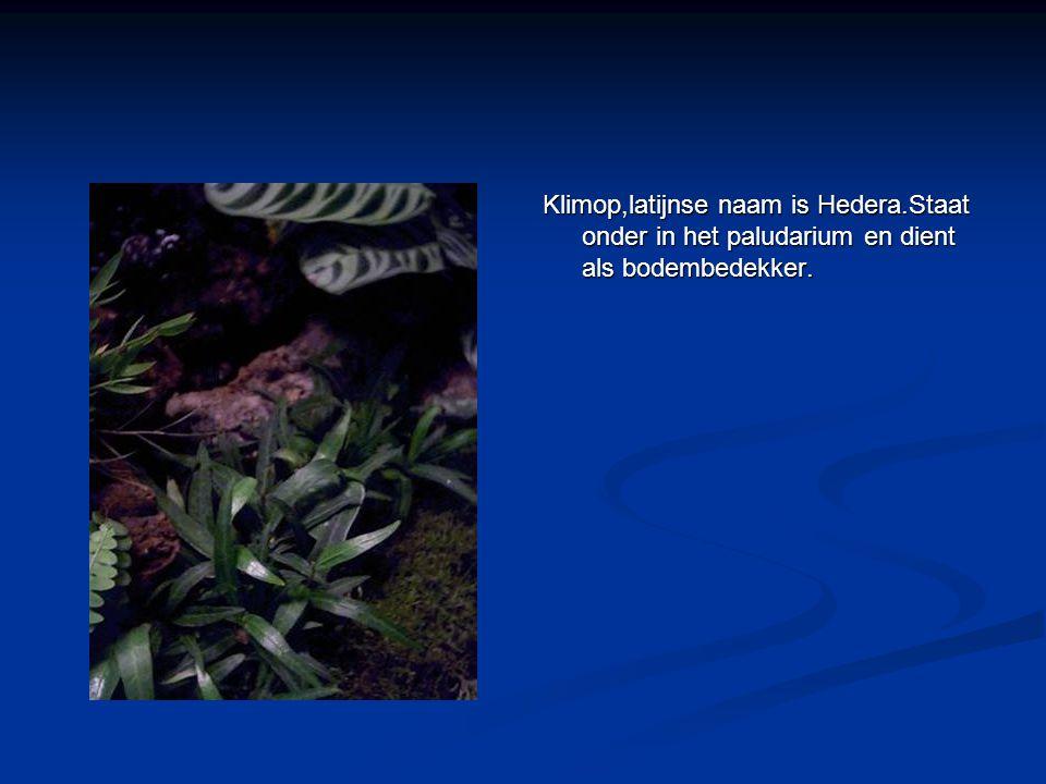Klimop,latijnse naam is Hedera.Staat onder in het paludarium en dient als bodembedekker.