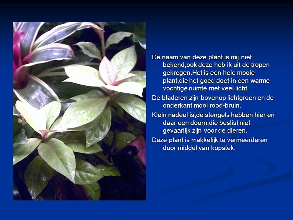 De naam van deze plant is mij niet bekend,ook deze heb ik uit de tropen gekregen.Het is een hele mooie plant,die het goed doet in een warme vochtige r