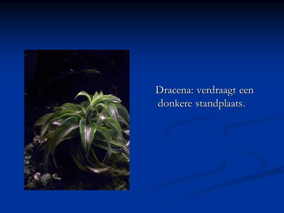 Dracena: verdraagt een donkere standplaats.