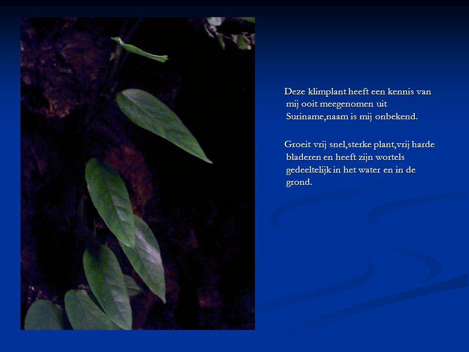 Deze klimplant heeft een kennis van mij ooit meegenomen uit Suriname,naam is mij onbekend. Groeit vrij snel,sterke plant,vrij harde bladeren en heeft