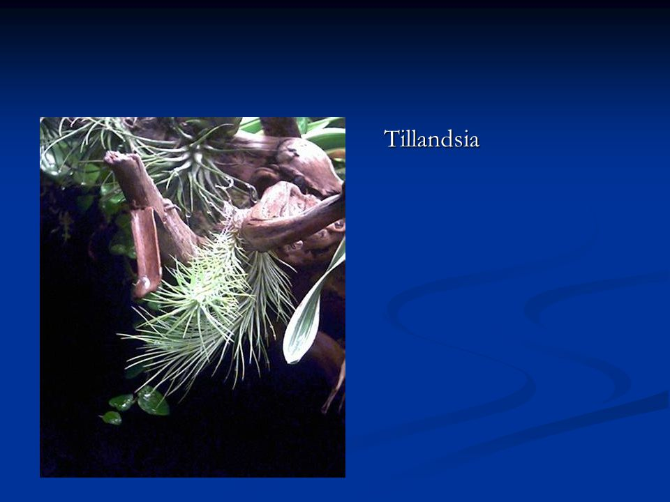 Tillandsia