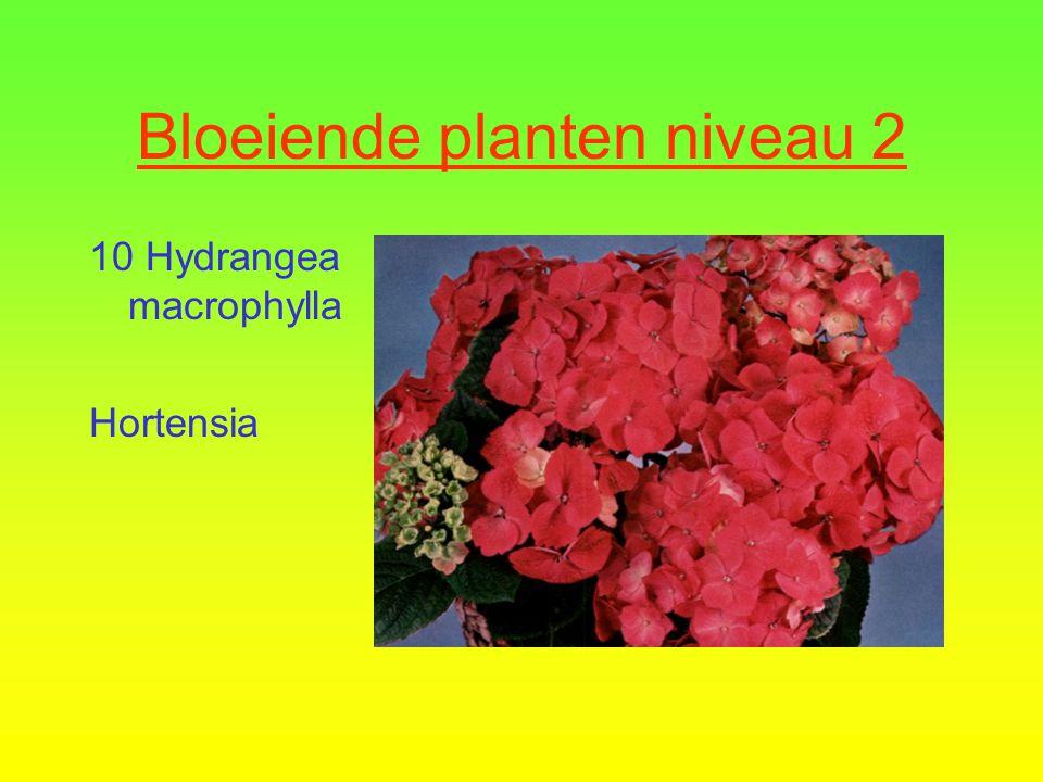 Bloeiende planten niveau 2  9 Rhododendron Simsii Groep  Azalea