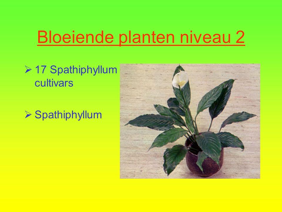 Bloeiende planten niveau 2  16 Streptocarpus cultivars  Kaapse primula
