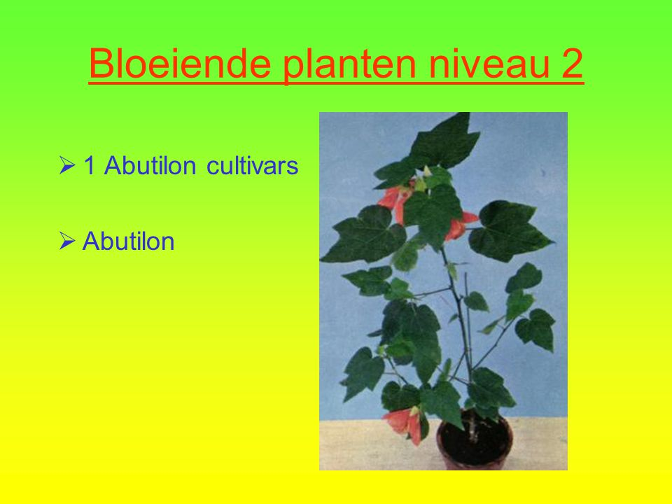 Bloeiende planten niveau 2  11 Exacum affine cultivars  Aardappelplantje