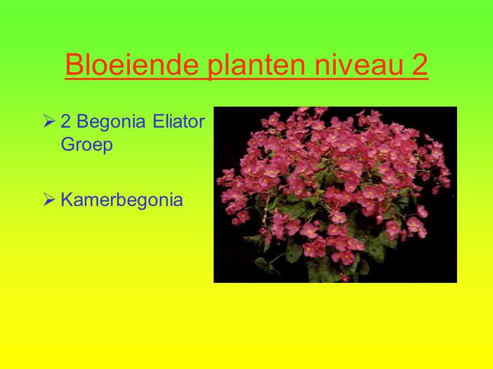  1 Abutilon cultivars  Abutilon