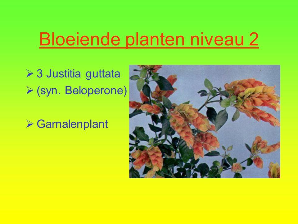 Bloeiende planten niveau 2  2 Begonia Eliator Groep  Kamerbegonia