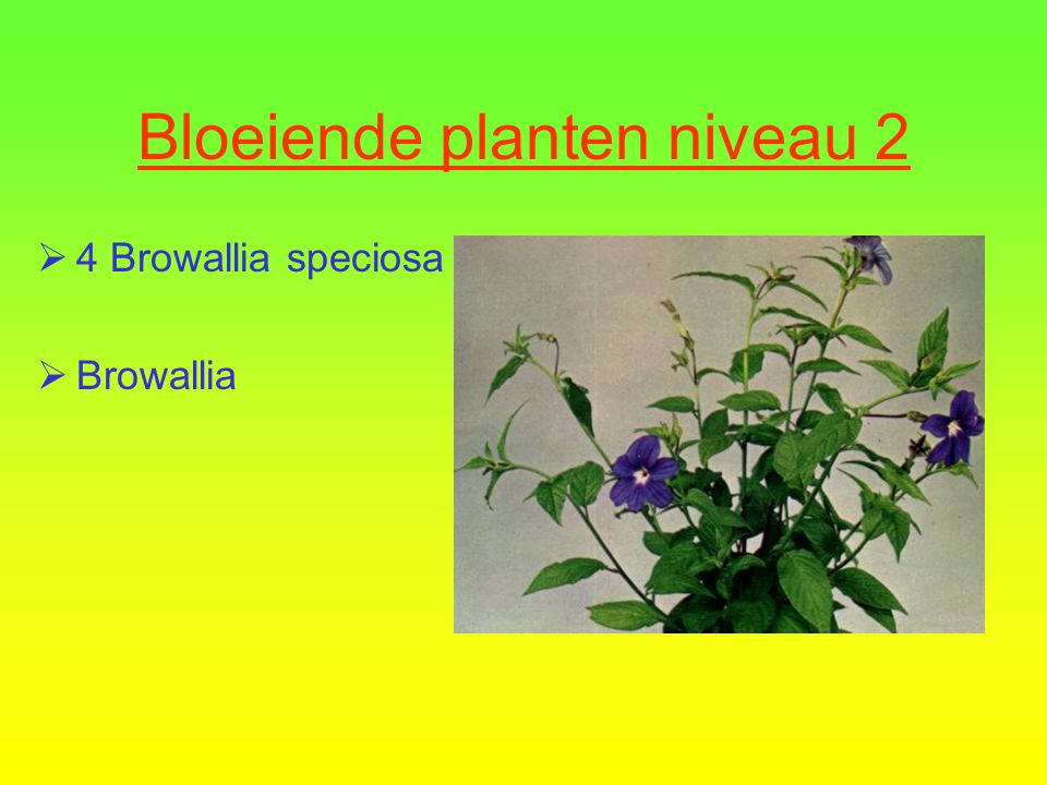 Bloeiende planten niveau 2  4 Browallia speciosa  Browallia