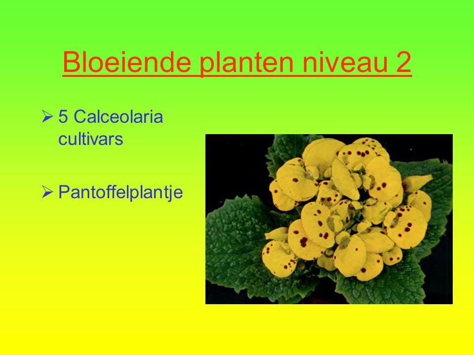 Bloeiende planten niveau 2  5 Calceolaria cultivars  Pantoffelplantje
