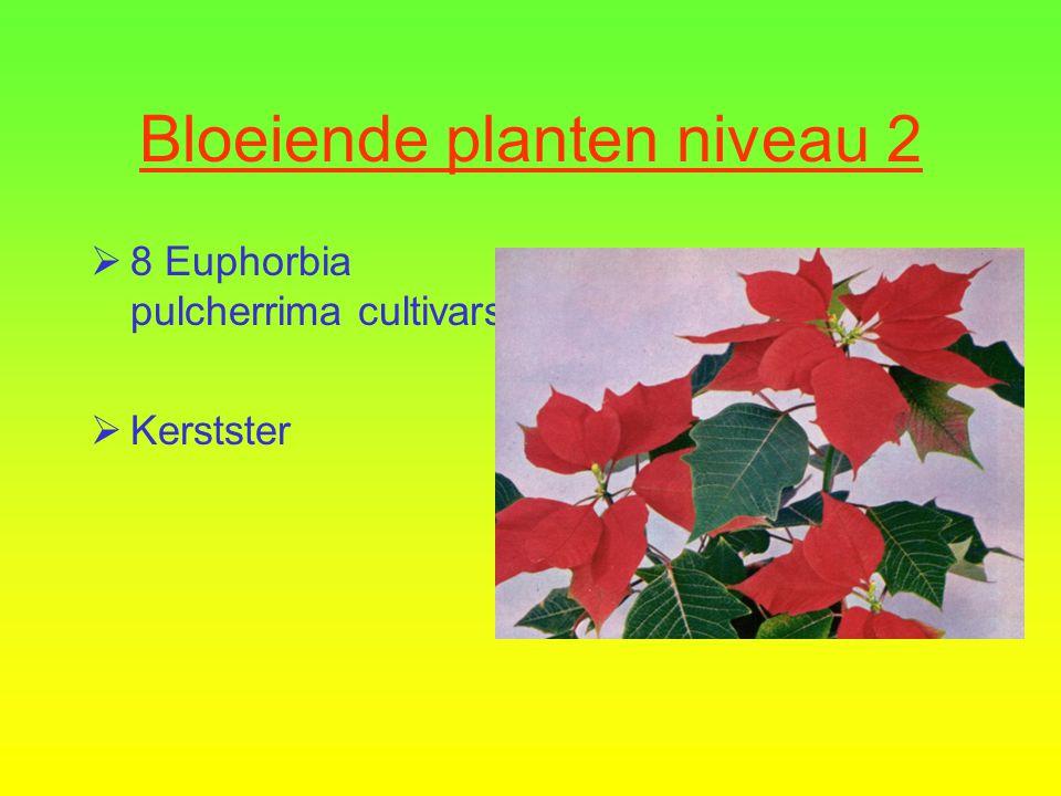 Bloeiende planten niveau 2  8 Euphorbia pulcherrima cultivars  Kerstster