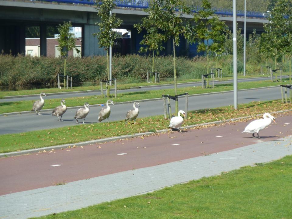 De hele familie Zwaan steekt de Zuiderparkweg over van Pendrecht naar een andere vijver ter hoogte van het Havenspoorpad in Zuidwijk