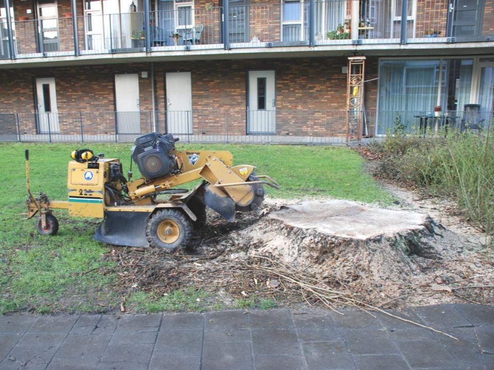 Dinsdag 20 december en woensdag 21 december 2011, kwam de frees om het laatste gedeelte van de boom en een gedeelte van de wortels weg te frezen.
