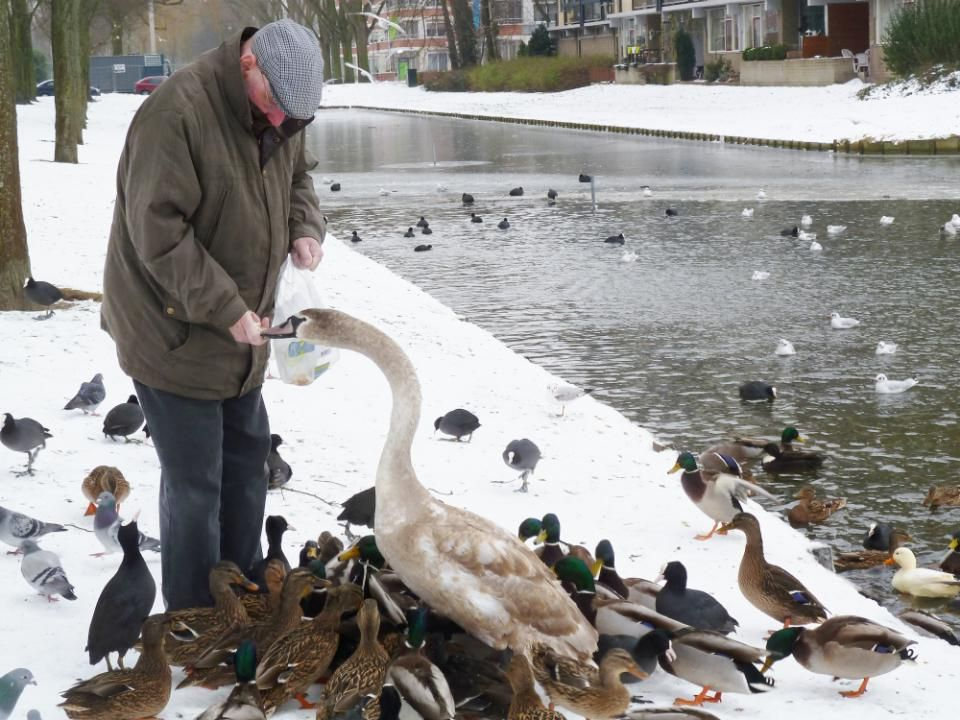 De winter 2012 – 2013 was streng tot extreem streng, de water vogels hadden het behoorlijk moeilijk.