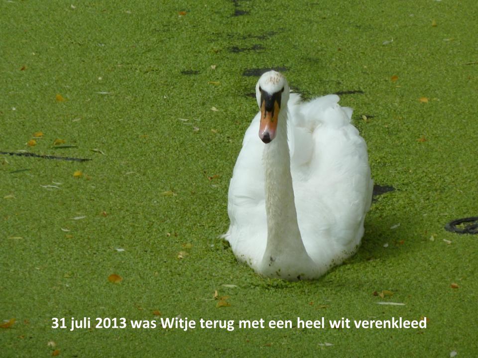 31 juli 2013 was Witje terug met een heel wit verenkleed