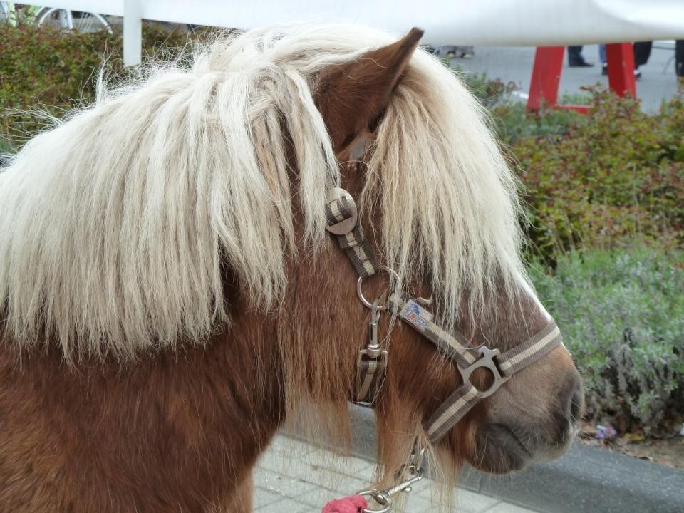 De kleintjes kunnen Pony rijden op de Braderie