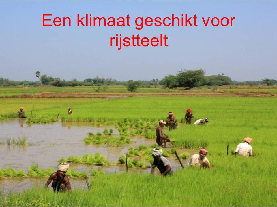Een klimaat geschikt voor rijstteelt