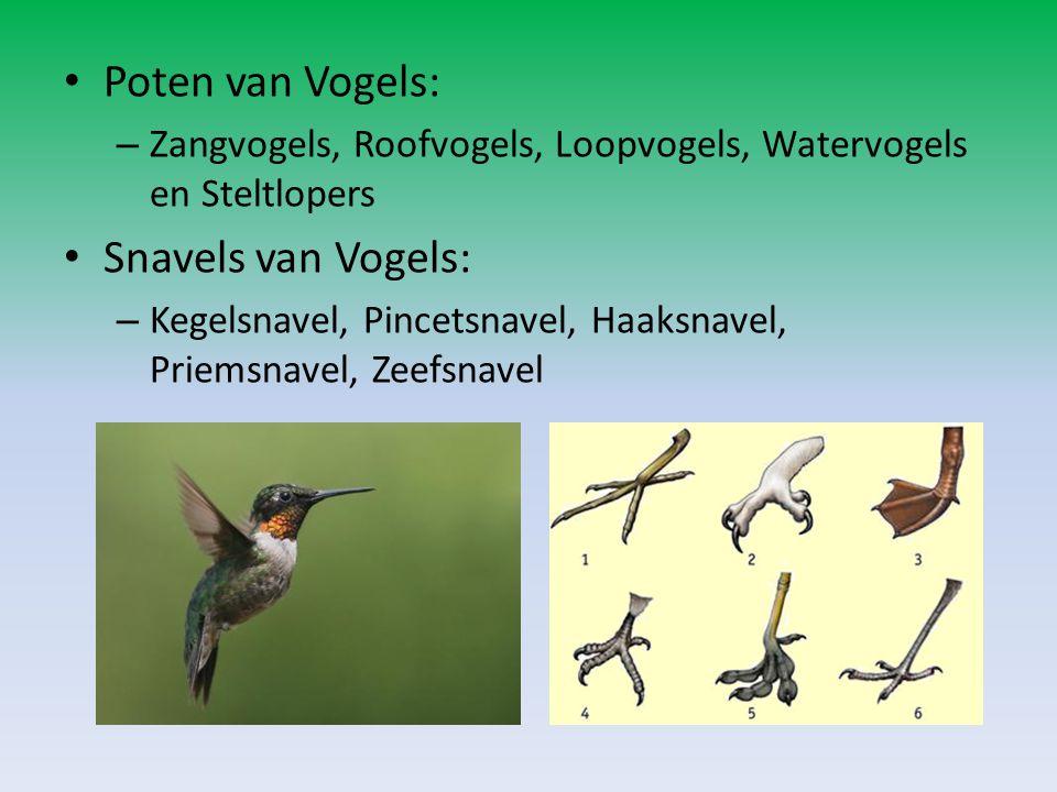 Poten van Vogels: – Zangvogels, Roofvogels, Loopvogels, Watervogels en Steltlopers Snavels van Vogels: – Kegelsnavel, Pincetsnavel, Haaksnavel, Priems