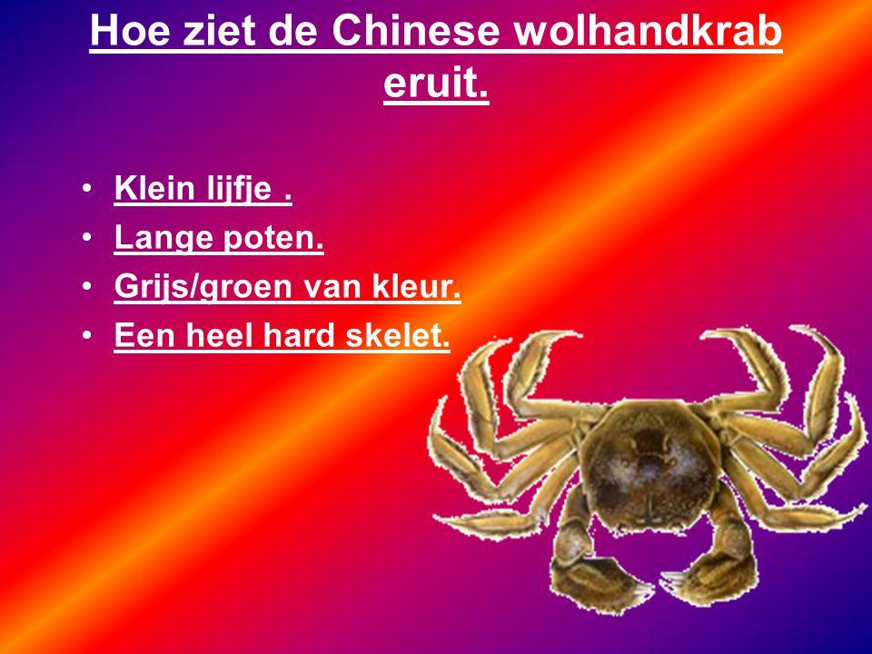 Hoe ziet de Chinese wolhandkrab eruit. Klein lijfje. Lange poten. Grijs/groen van kleur. Een heel hard skelet.