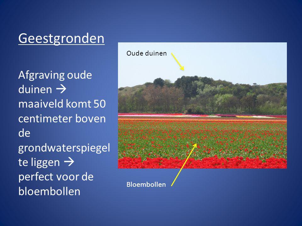 Geestgronden Afgraving oude duinen  maaiveld komt 50 centimeter boven de grondwaterspiegel te liggen  perfect voor de bloembollen Oude duinen Bloemb