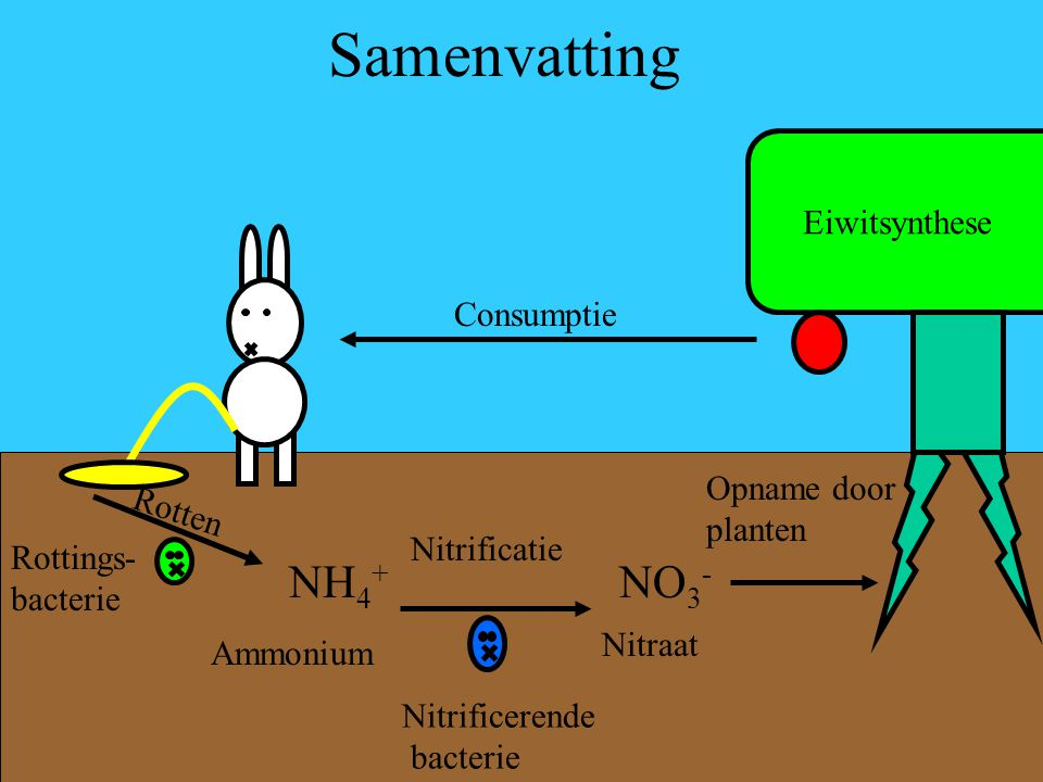 Samenvatting Eiwitsynthese Consumptie Rotten Rottings- bacterie NH 4 + Ammonium Nitrificatie NO 3 - Nitraat Nitrificerende bacterie Opname door plante