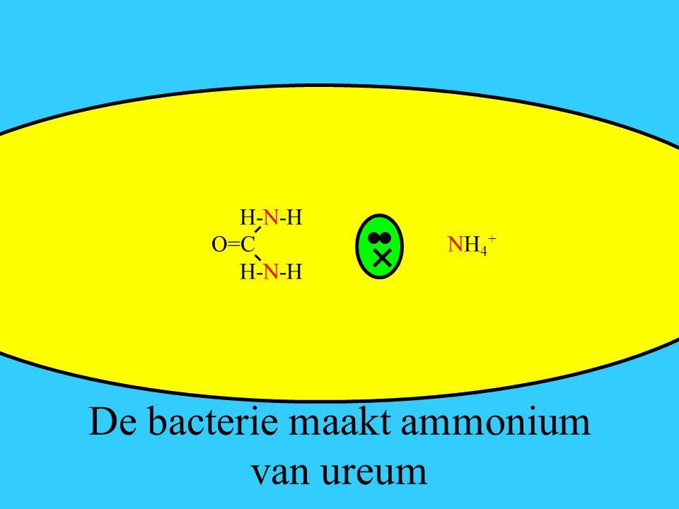 De bacterie maakt ammonium van ureum H-N-H O=C NH 4 + H-N-H