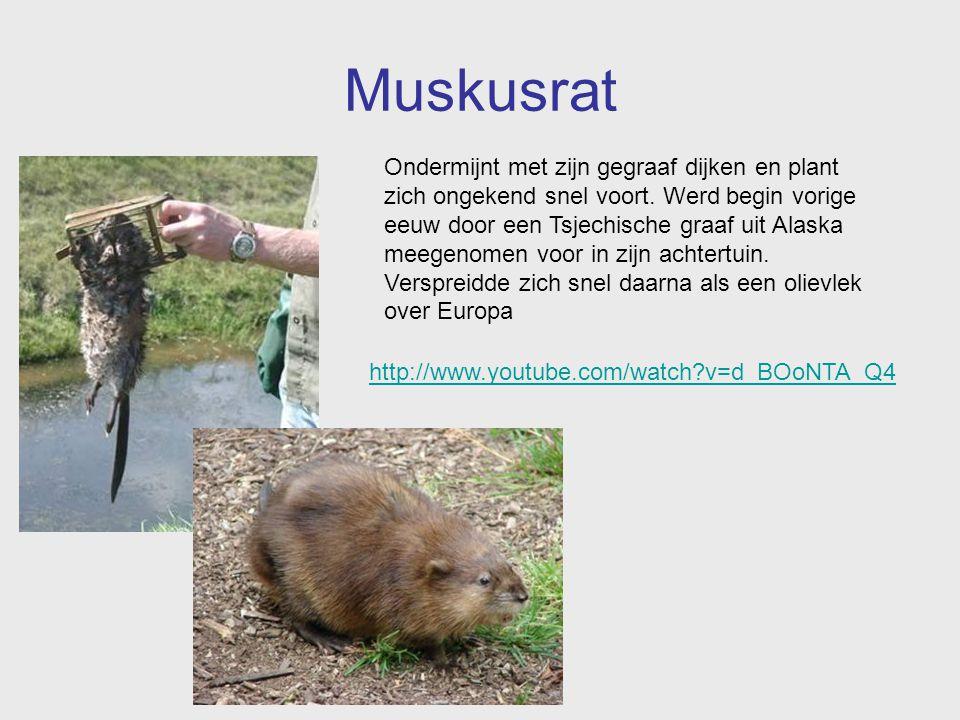 Muskusrat Ondermijnt met zijn gegraaf dijken en plant zich ongekend snel voort. Werd begin vorige eeuw door een Tsjechische graaf uit Alaska meegenome