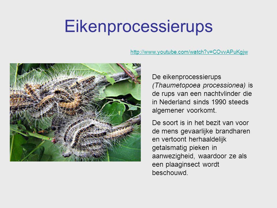 Eikenprocessierups De eikenprocessierups (Thaumetopoea processionea) is de rups van een nachtvlinder die in Nederland sinds 1990 steeds algemener voor