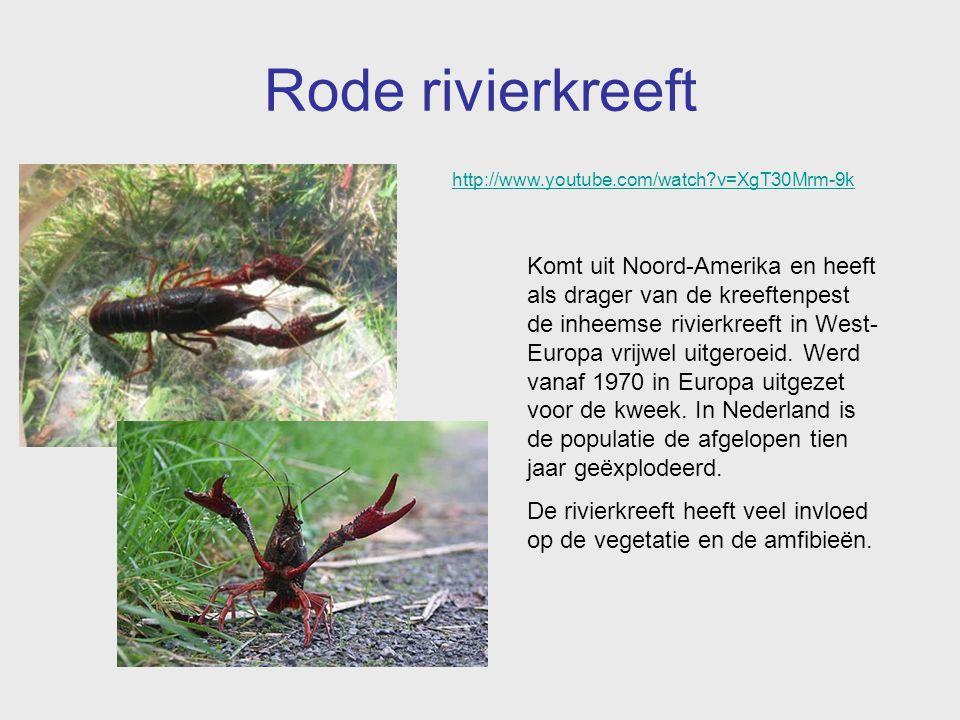 Rode rivierkreeft Komt uit Noord-Amerika en heeft als drager van de kreeftenpest de inheemse rivierkreeft in West- Europa vrijwel uitgeroeid. Werd van