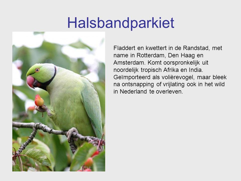 Halsbandparkiet Fladdert en kwettert in de Randstad, met name in Rotterdam, Den Haag en Amsterdam. Komt oorspronkelijk uit noordelijk tropisch Afrika
