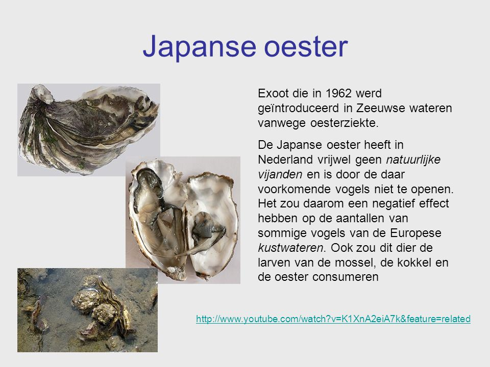 Japanse oester Exoot die in 1962 werd geïntroduceerd in Zeeuwse wateren vanwege oesterziekte. De Japanse oester heeft in Nederland vrijwel geen natuur