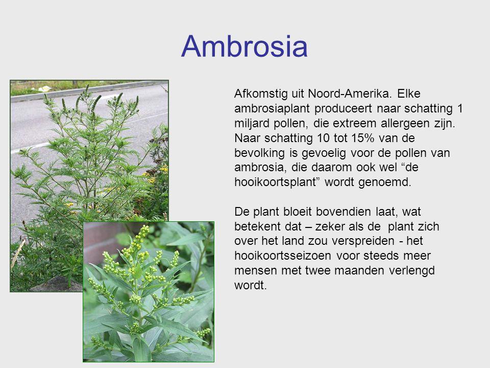 Ambrosia Afkomstig uit Noord-Amerika. Elke ambrosiaplant produceert naar schatting 1 miljard pollen, die extreem allergeen zijn. Naar schatting 10 tot
