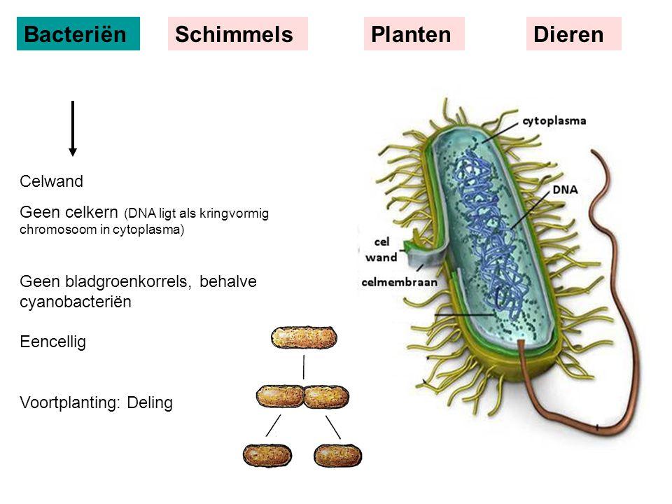BacteriënSchimmelsPlantenDieren Celwand Geen celkern (DNA ligt als kringvormig chromosoom in cytoplasma) Geen bladgroenkorrels, behalve cyanobacteriën Eencellig Voortplanting: Deling