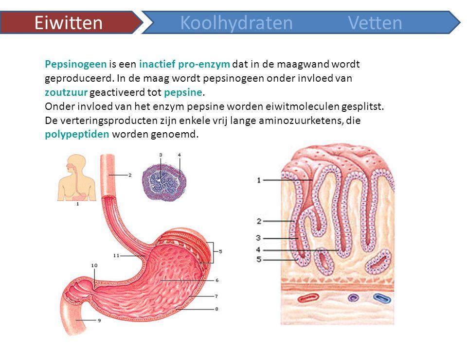 voedseldelen maagportier vrijkomen maagsap maag maagwand maagsapklieren vrijkomen maagsap pepsinogeenpepsine (actief enzym) HCl slijmkliercellen 1Pepsinogeen en HCl komen vrij in de maag 2HCl zet pepsinogeen om in pepsine 3Pepsine activeert meer pepsinogeen en start zo een kettingreactie.