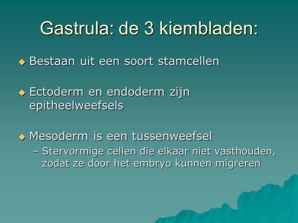 Gastrula: de 3 kiembladen:  Bestaan uit een soort stamcellen  Ectoderm en endoderm zijn epitheelweefsels  Mesoderm is een tussenweefsel –Stervormig