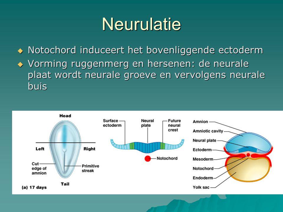 Neurulatie  Notochord induceert het bovenliggende ectoderm  Vorming ruggenmerg en hersenen: de neurale plaat wordt neurale groeve en vervolgens neurale buis