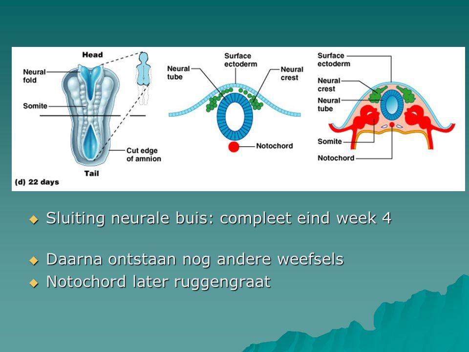  Sluiting neurale buis: compleet eind week 4  Daarna ontstaan nog andere weefsels  Notochord later ruggengraat