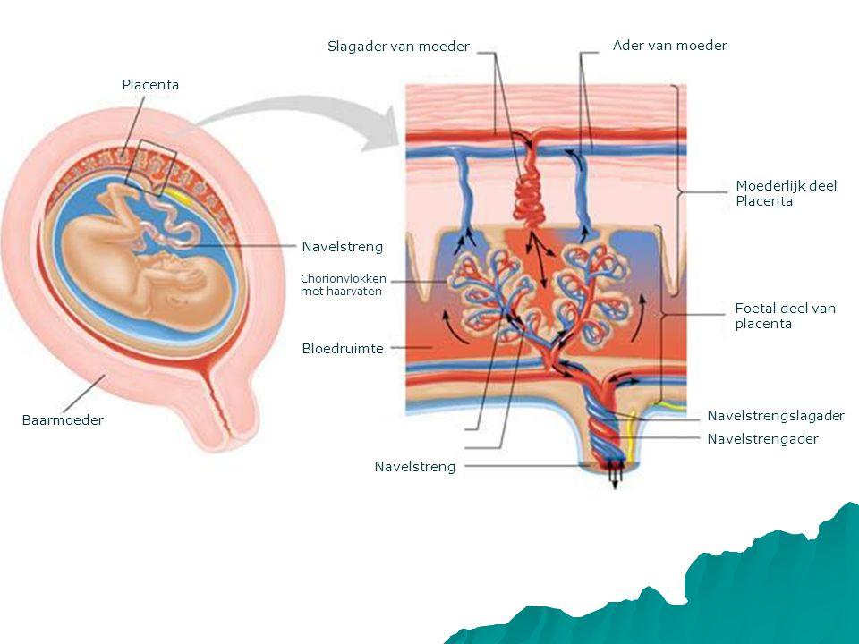 Placenta Bloedruimte Navelstreng Slagader van moeder Ader van moeder Moederlijk deel Placenta Foetal deel van placenta Navelstrengader Navelstrengslagader Navelstreng Baarmoeder Chorionvlokken met haarvaten