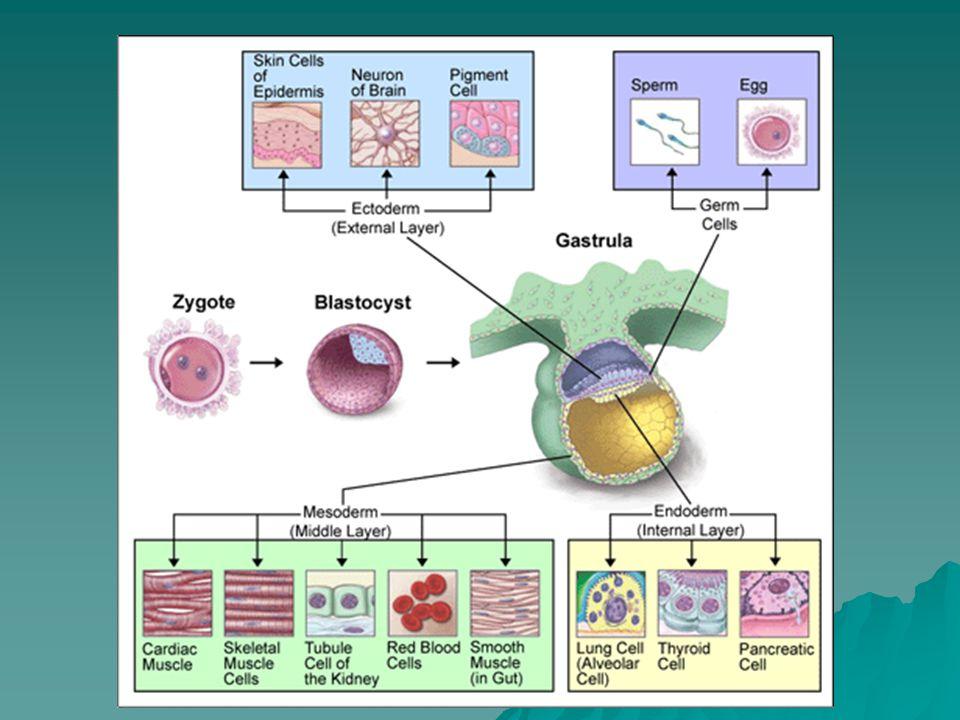 Gastrula: de 3 kiembladen:  Bestaan uit een soort stamcellen  Ectoderm en endoderm zijn epitheelweefsels  Mesoderm is een tussenweefsel –Stervormige cellen die elkaar niet vasthouden, zodat ze door het embryo kunnen migreren