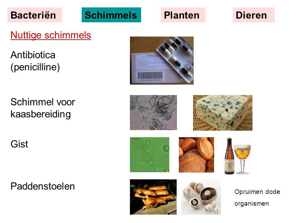 Nuttige schimmels Antibiotica (penicilline) Schimmel voor kaasbereiding Gist Paddenstoelen BacteriënSchimmelsPlantenDieren Opruimen dode organismen