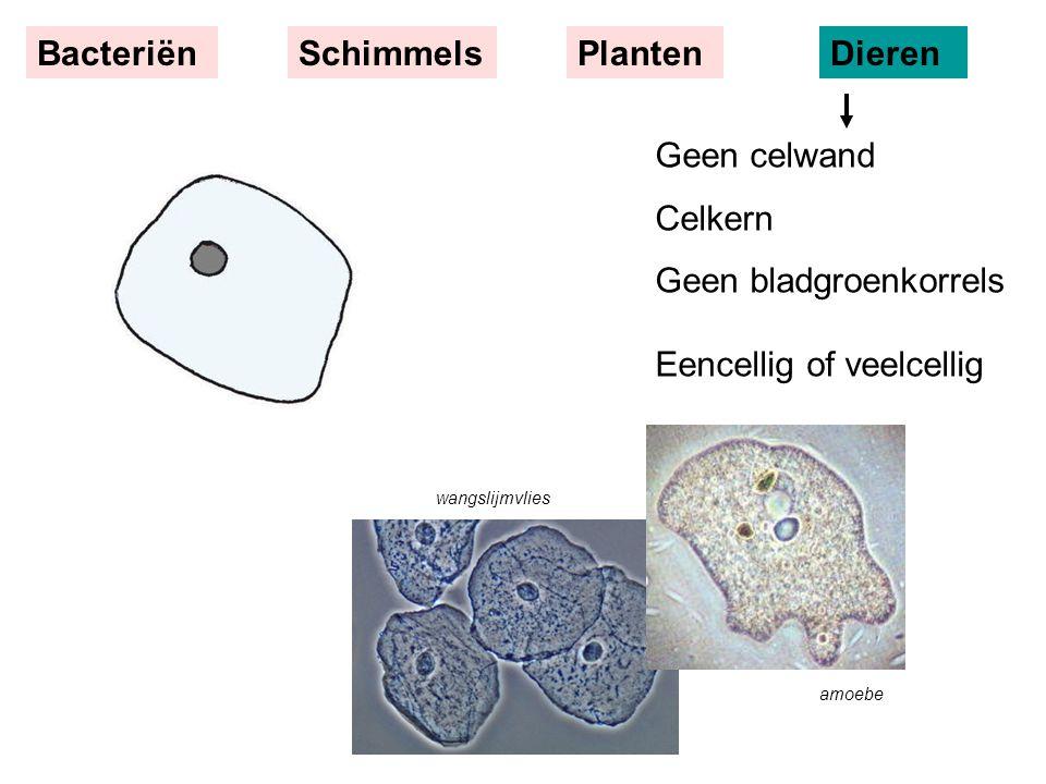Geen celwand Celkern Geen bladgroenkorrels Eencellig of veelcellig BacteriënSchimmelsPlantenDieren wangslijmvlies amoebe