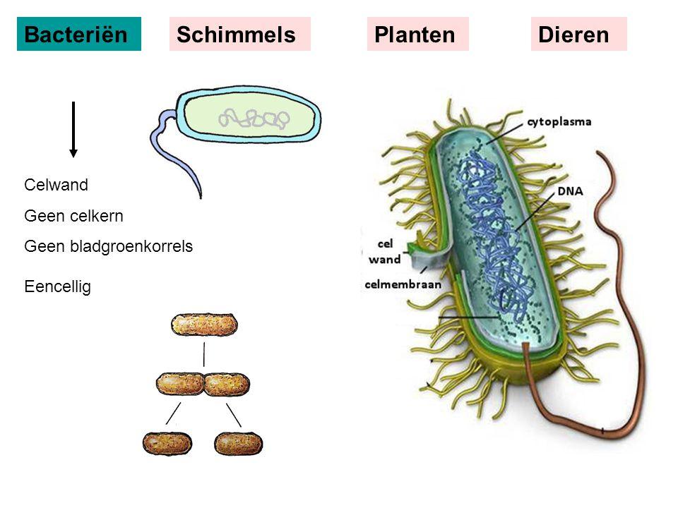 BacteriënSchimmelsPlantenDieren Celwand Geen celkern Geen bladgroenkorrels Eencellig