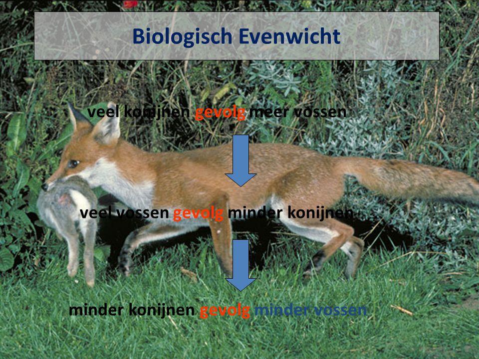 Biologisch Evenwicht veel konijnen gevolg meer vossen veel vossen gevolg minder konijnen minder konijnen gevolg minder vossen