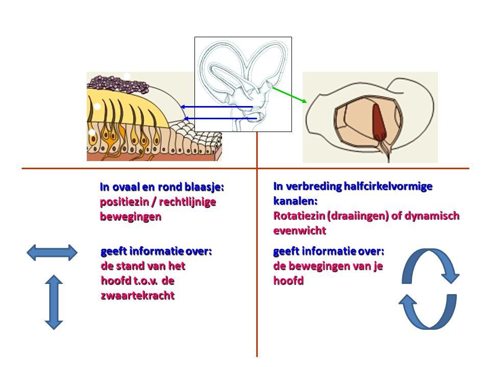In ovaal en rond blaasje: positiezin / rechtlijnige bewegingen geeft informatie over: de stand van het hoofd t.o.v. de zwaartekracht In verbreding hal